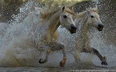 White Horses of the Camargue - Photographers On Safari Horse Galloping, Andalusian Horse, Friesian Horse, Arabian Horses, Thoroughbred, Pretty Horses, Beautiful Horses, Horse Water, Clown Paintings