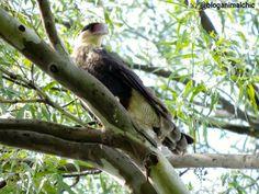 Caracará (Caracara plancus) registrado no PET - Parque Ecológico do Tietê - em São Paulo, SP, em Janeiro/14.