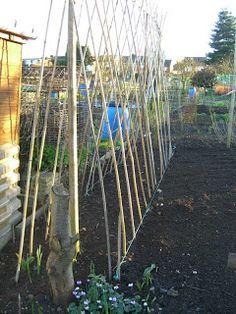 Allotment Garden: How I Grow Exhibition Sweet Peas