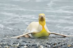Wildlife Photographer Captures A 'Never Before Seen' 1-In-146k Yellow Penguin | Bored Panda Penguins, Animals Of The World, Send Me, Discover Yourself, Aurora, Sons, Wildlife, Tumblr, Yellow