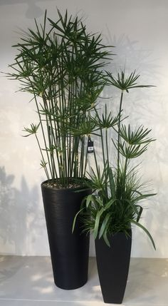 dwarf papyrus plant in glass vase my new tiny apartment with the big terrace vn pinterest. Black Bedroom Furniture Sets. Home Design Ideas