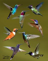 Hummingbird Photographs - Hummingbird Collage by David Salter