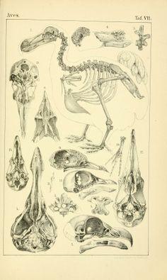 T. 1 - Vögel / - Biodiversity Heritage Library