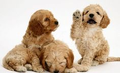 three cocapoo puppies playing together