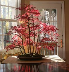 Japanese Red Maple Bonsai in Autumn