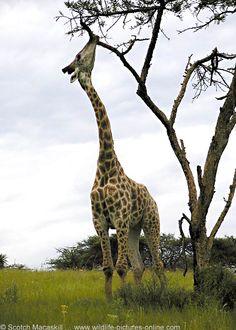 giraffe - Bing Images
