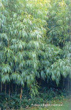 Siepi e barriere bambù