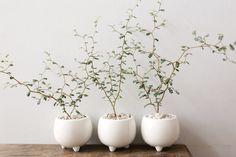 ✔ 65 friendly house plants for indoor decoration 36 Foliage Plants, Air Plants, Potted Plants, Garden Plants, Indoor Plants, Bonsai Tree Care, Cactus Care, Belle Plante, Miniature Trees