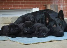 All black German shepherd dog and her puppies! STRONG AND BLACK, just like my men!