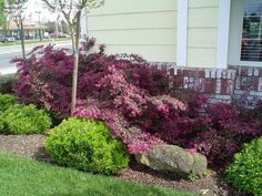 loropetalum chinense razzleberry - two of them for flanking each side of front entry