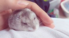 just petting her this morning... so calm so zen #aww #Cutehamsters #hamster #hamstersofpinterest #boopthesnoot #cuddle #fluffy #animals #aww #socute #derp #cute #bestfriend #itssofluffy #rodents