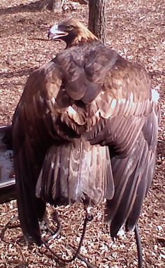 Golden Eagle at the bird sanctuary