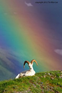 """""""Dall Sheep in Rainbow"""" by Tin Man:)"""