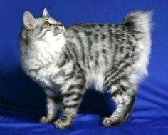 The Kurilian Bobtail cat is a rare cat breed beyond Russia. It is a natural breed, meaning that humans played no part in their development. The Kurilian's short tail is as a result of a genetic mutation.  The wild Kurilian Bobtail cat roamed these islands for decades prior to becoming domesticated. They were first identified in the 1950's and then found their way to the Russian mainland in the 1980's - it is believed that scientists or military personnel brought them to Russia.