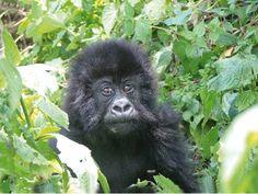 Africa - Gorilla tours - Rawanda