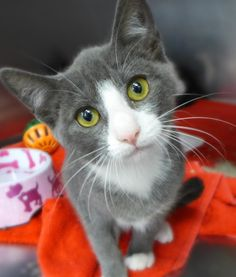 Thyme is an adoptable Domestic Short Hair - gray and white searching for a forever family near Mount Holly, NJ. Use Petfinder to find adoptable pets in your area.