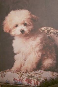 Leah McDaniel...Tiny Toy Poodle Puppy (Looks more like my Bichon Frise!!)