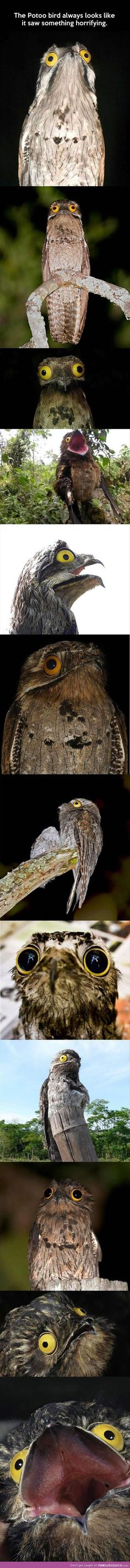 "Forever horrified Potoo bird.   ""What's that over there? Or that? What about THAT?!"""