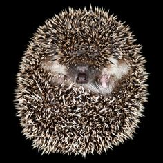 """3,347 Likes, 24 Comments - National Geographic Your Shot (@natgeoyourshot) on Instagram: """"Top Shot: Hedgehog Defense   Photograph by Brian Genge (@brian.genge.photos) . Your Shot…"""""""