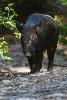 Langley Ranch THE BEST WILD HOG HUNTING IN TEXAS wwwTexasWildHogHunting.com…