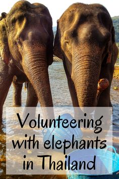 This post contains all the common questions about volunteering at Elephant Nature Park in Thailand. Find out what volunteering at ENP is really like. Thailand Travel Tips, Asia Travel, Croatia Travel, Hawaii Travel, Italy Travel, Bali, Thailand Elephants, Elephant Nature Park Thailand, Elephant Sanctuary Chiang Mai