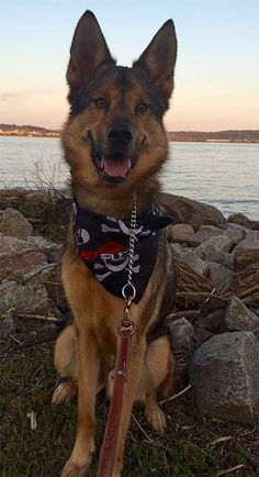 Check out Blake's profile on AllPaws.com and help him get adopted! Blake is an adorable Dog that needs a new home. https://www.allpaws.com/adopt-a-dog/german-shepherd-dog/2934375?social_ref=pinterest
