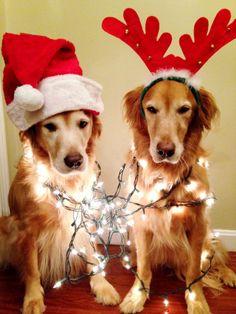 Reader pet pix: Two Christmas ready golden retrievers