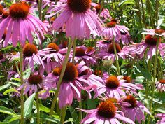Echinacea - One of world's most important medicinal herbs, can raise the body's resistance to bacterial and viral infections by stimulating the immune system. It also has antibiotic properties that helps relieve allergies. Basically, the roots are beneficial in the treatment of sores, wounds and burns. It was once used by the Native Americans as an application for insect bites, stings and snakebites. The echinacea grows on any well drained soil, as long as it gets sunlight.