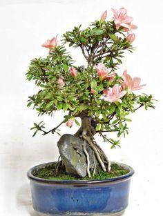 Картинки по запросу árvore figueira bonsai