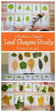 Leaf Shapes Study