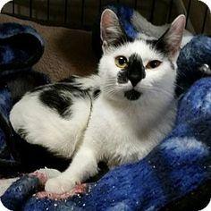 Norwalk, CT - Domestic Shorthair. Meet Maddie Sweet Petite, a cat for adoption. http://www.adoptapet.com/pet/16014388-norwalk-connecticut-cat