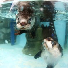 Mother otter keeps a close eye on her pup during swimming lessons - June 8, 2015 - More at today's Daily Otter post: http://dailyotter.org/2015/06/08/mother-otter-keeps-a-close-eye-on-her-pup-during-swimming-lessons/ !