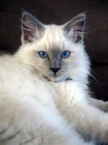 Ragdoll cat with beautiful blue eyes  Belle???