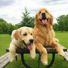 Golden retriever vriendjes. Beste Golden Retriever Foto's. #Goldenretriever #Golden #Retriever.