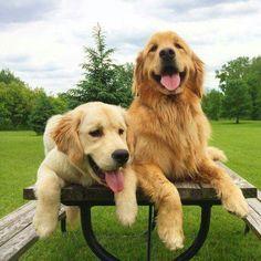 Golden retriever vriendjes. Beste Golden Retriever Foto's. #Goldenretriever #Golden #Retriever.