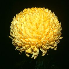 large intermediate chrysanthemum | Class 3 Regular Incurve A true globular bloom equal in breadth and ...