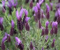 lavender flower heads, so it would gently release its delicate aroma Lavender For Dogs, Lavender Green, Lavender Buds, Lavender Scent, Lavender Flowers, Purple Flowers, Spanish Lavender, French Lavender, Essential Oil Perfume