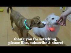 Lightinthebox LED dog collar funny dog video