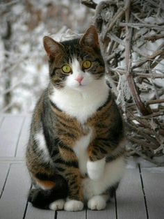 Tabby cat with white. I Love Cats, Crazy Cats, Cool Cats, Pretty Cats, Beautiful Cats, Kittens Cutest, Cats And Kittens, Ragdoll Kittens, Tabby Cats