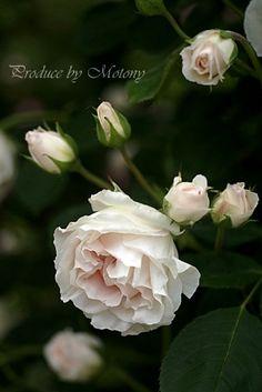 Rose 'Pink Chiffon'