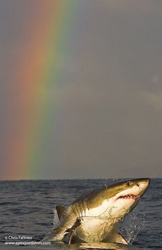 Beautiful rainbow representing God's promise along with one of the most magnificent creatures He created, the great white shark! Orcas, Beautiful Creatures, Animals Beautiful, Save The Sharks, Shark Pictures, Shark Photos, Shark Bait, Water Life, Great White Shark