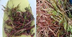 Kirli Kanı Temizleyen Harika Bitki - Lokmanca Asparagus, Cabbage, Vegetables, Plants, Studs, Cabbages, Vegetable Recipes, Plant, Brussels Sprouts