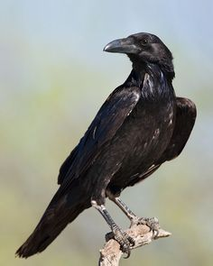 Yukon Provincial Bird Common Raven