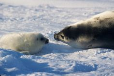 """A Harp seal mom can identify her baby from """"hundreds of others based on smell alone."""" 