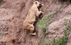 Mamãe leoa salva filhote de um penhasco