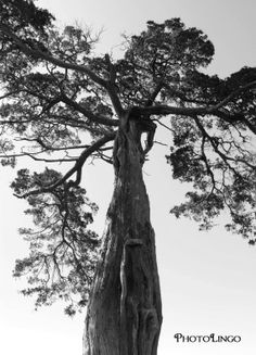 Fine Art Photography, Black and White Photograph, Botanical and Nature Art, Tree Print, Nature Photography, Wall Art, Wall Decor, Tree www.etsy.com/shop/PhotoLingo