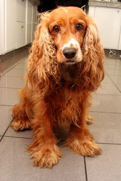 The American Cocker Spaniel was bred smaller as American Woodcocks are smaller sized than their European cousins, as well as the breeds look changed slightly in the course of the first element of the 20th century as the preference by American breeders was for any more stylized appearance.