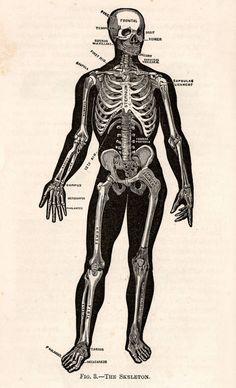 vintage skeleton chart