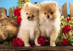 These Pictures Of Pomeranian Dogs Are Doggone Cute!...find here fundogpics.com