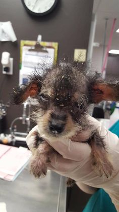 Will you help me save this tiny life? Meet Thimble, our newest rescue puppy who weighs only 1 pound! She is tiny as a thimble hence her new name! She is suffering from a severe skin condition causing major pain and discomfort. The saddest part is that at just 8-weeks-old found herself dumped at